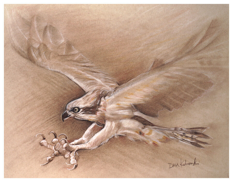 Osprey - Wildlife Drawing - 11x14 charcoal, sepia + sanguine conté, chalk on toned paper