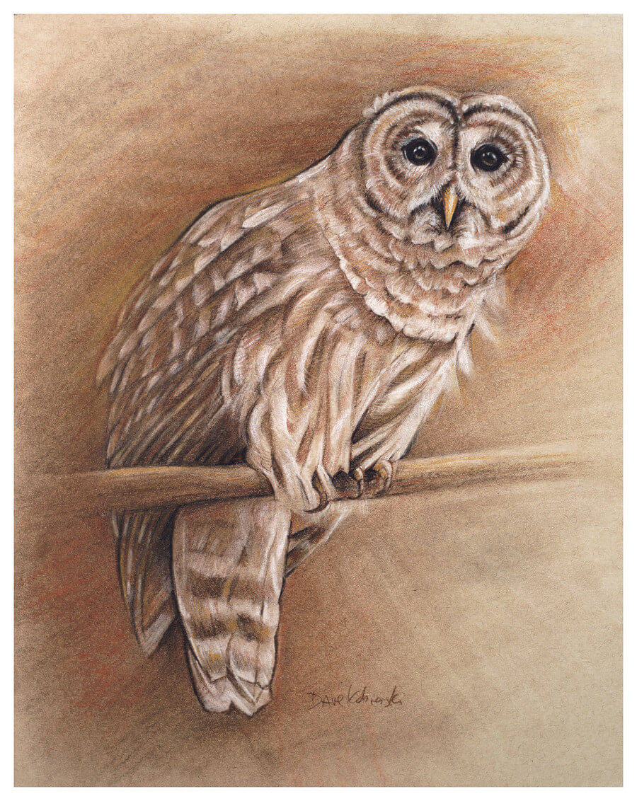 Barred Owl / Spirit Animals & Wild Places / Drawing by Dave Kobrenski -