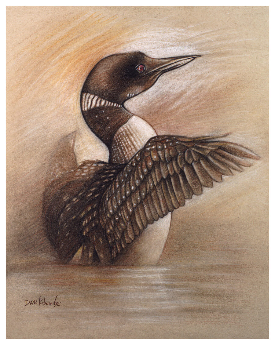 Loon  - Wildlife Drawing -
